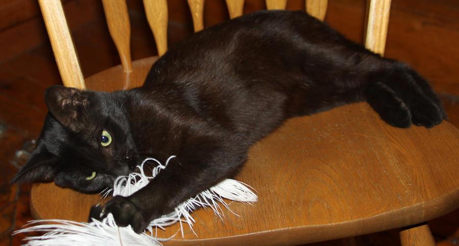 Salem Cat - Stock 18 by Lovely-DreamCatcher