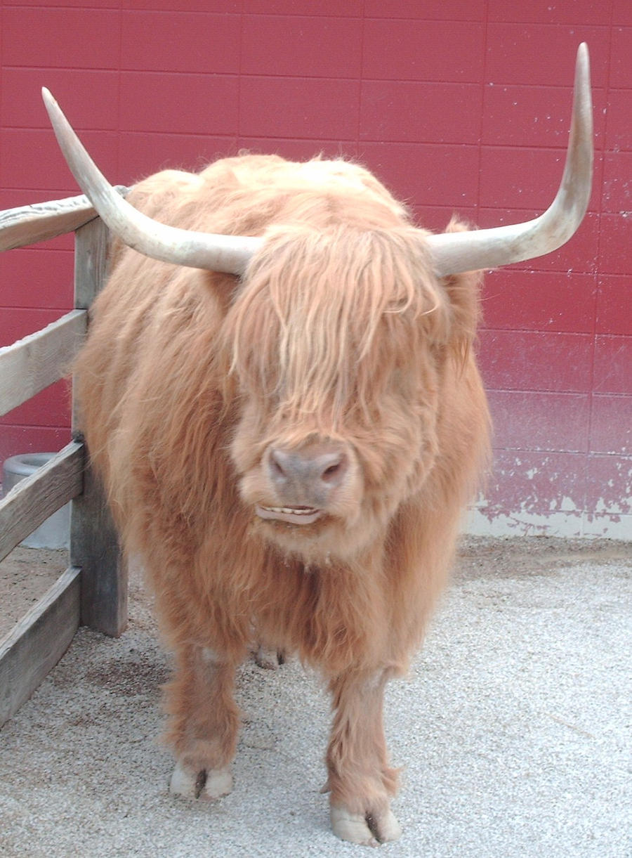Highland Cow Stock by Lovely-DreamCatcher