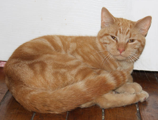 Orange Kitty Stock 4 of 18 ~ Nomad by Lovely-DreamCatcher