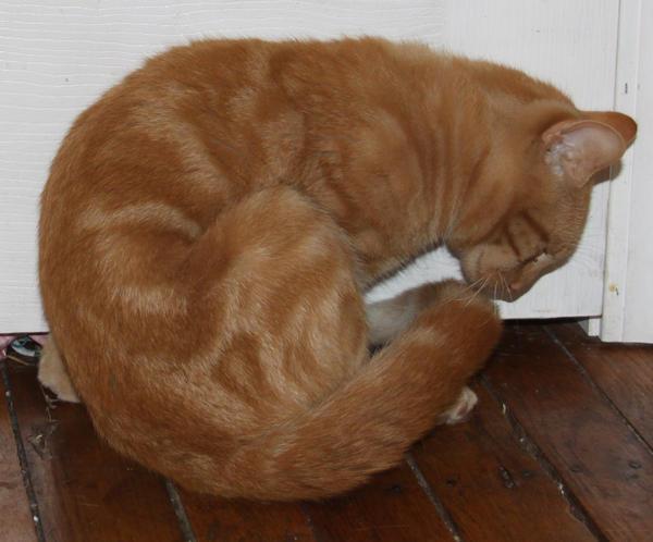 Orange Kitty Stock 9 of 18 ~ Nomad by Lovely-DreamCatcher