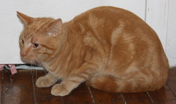 Orange Kitty Stock 3 of 18 ~ Nomad by Lovely-DreamCatcher