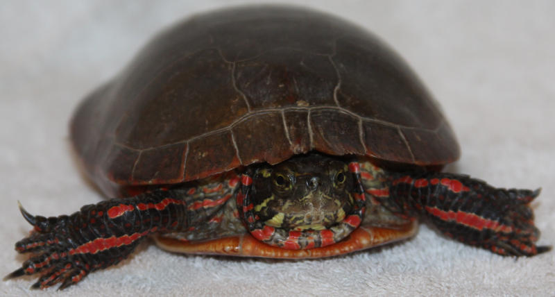 Painted Turtle Stock 4 of 11 by Lovely-DreamCatcher