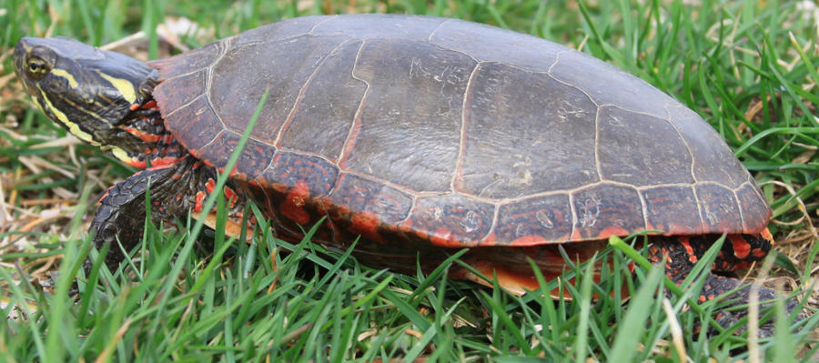 Painted Turtle Stock 9 of 11 by Lovely-DreamCatcher