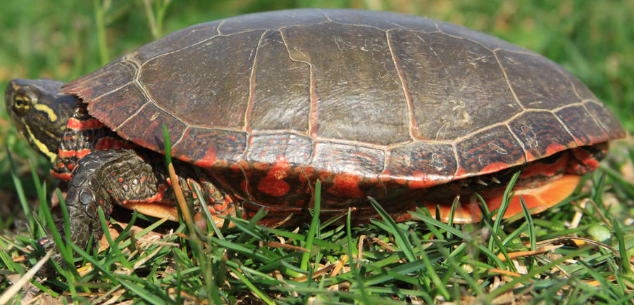 Painted Turtle Stock 8 of 11 by Lovely-DreamCatcher