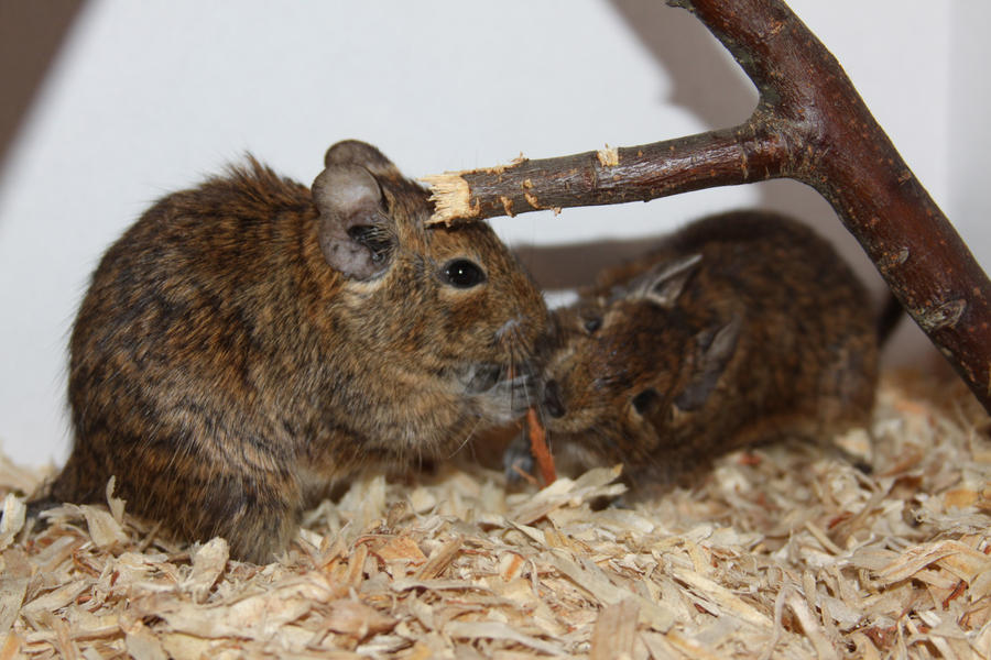 Degu Stock 10 of 10 ~ Males by Lovely-DreamCatcher