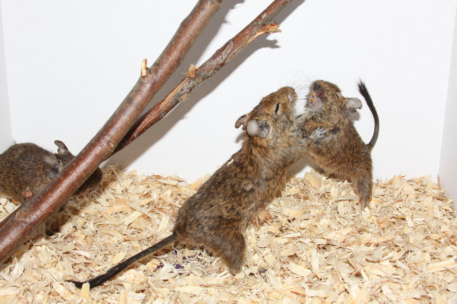 Degu Stock 4 of 10 ~ Males by Lovely-DreamCatcher