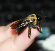 Carpenter Bee Stock . by Lovely-DreamCatcher