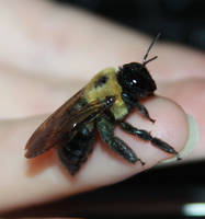 Carpenter Bee Stock by Lovely-DreamCatcher