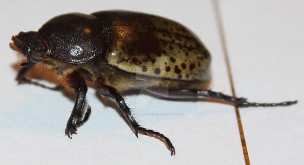 Female Hercules Beetle? Stock by Lovely-DreamCatcher