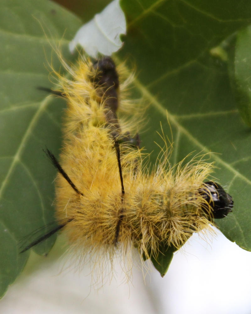 American Dagger Moth Caterpillar Stock by Lovely-DreamCatcher