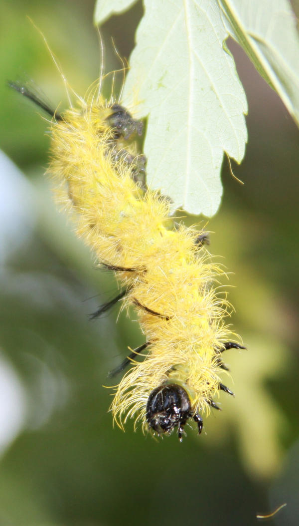 American Dagger Moth Caterpillar Stock by Lovely-DreamCatcher