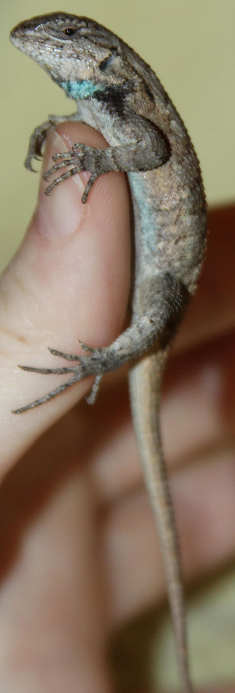 Eastern Fence Lizard? Stock by Lovely-DreamCatcher