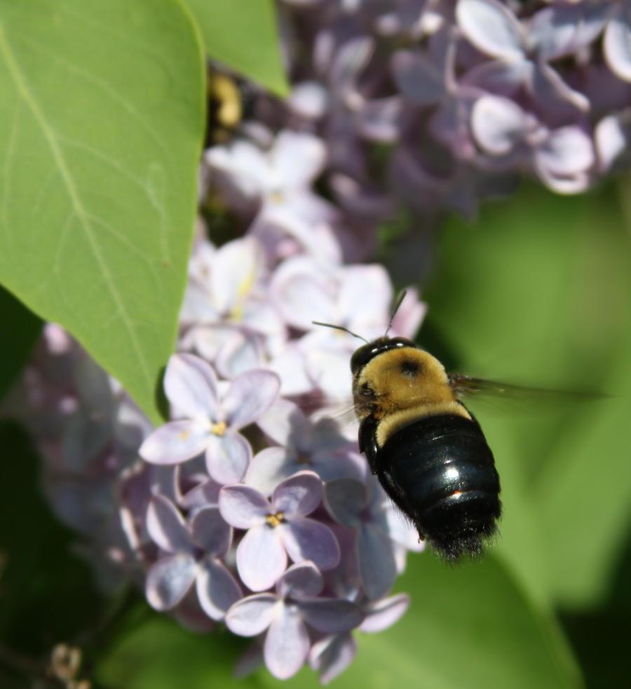 Bee - Flower Stock by Lovely-DreamCatcher