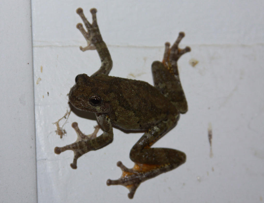 Tree Frog Stock - 7 of 8 by Lovely-DreamCatcher