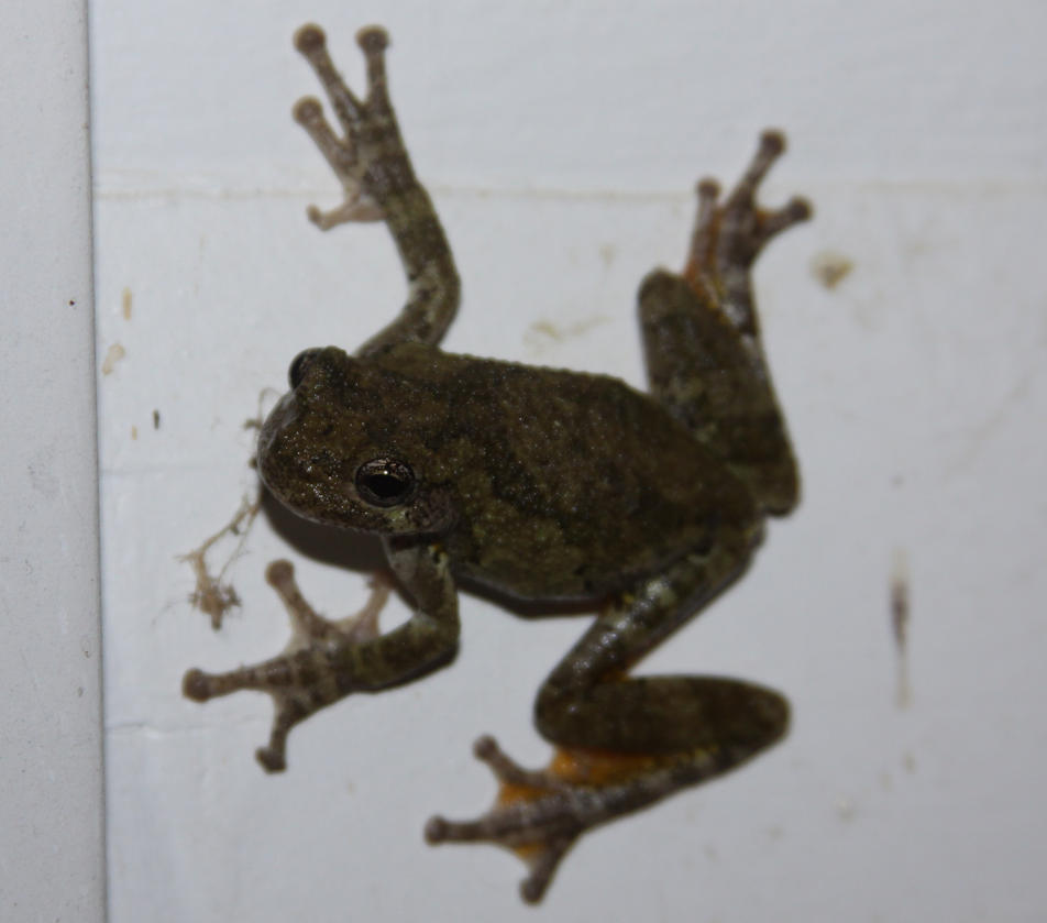 Tree Frog Stock - 8 of 8 by Lovely-DreamCatcher