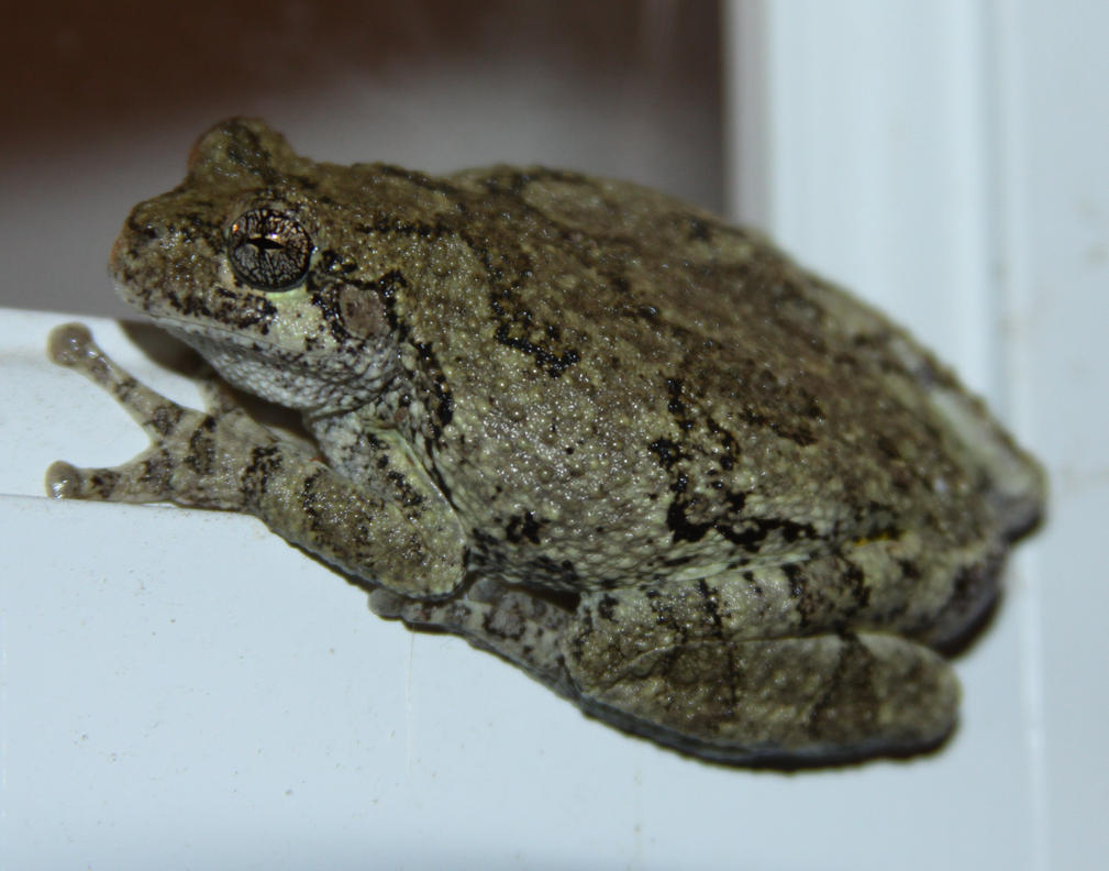 Tree Frog Stock - 3 of 8 by Lovely-DreamCatcher