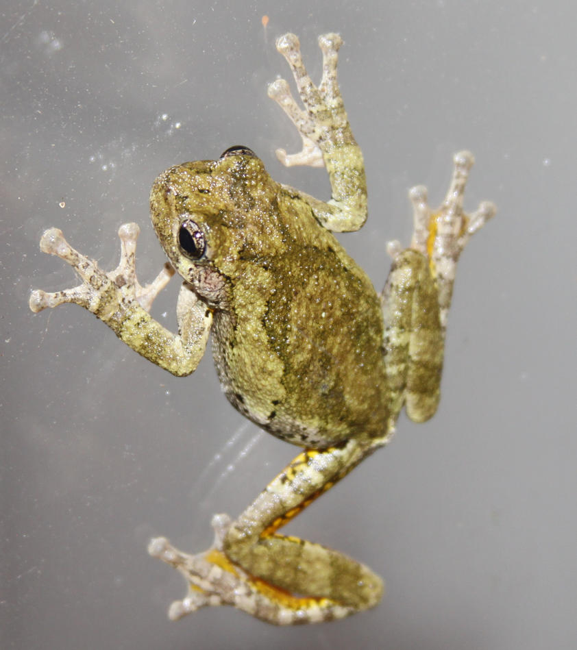 Tree Frog Stock - 1 of 8 by Lovely-DreamCatcher