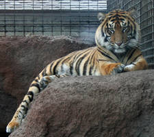 Gage Park Zoo 19 - Tiger by Falln-Stock
