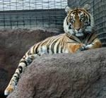 Gage Park Zoo 20 - Tiger
