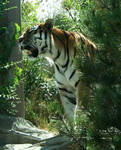 Hogle Zoo 23 - Tiger
