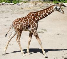 Hogle Zoo 29 - Giraffe by Falln-Stock