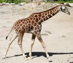 Hogle Zoo 29 - Giraffe