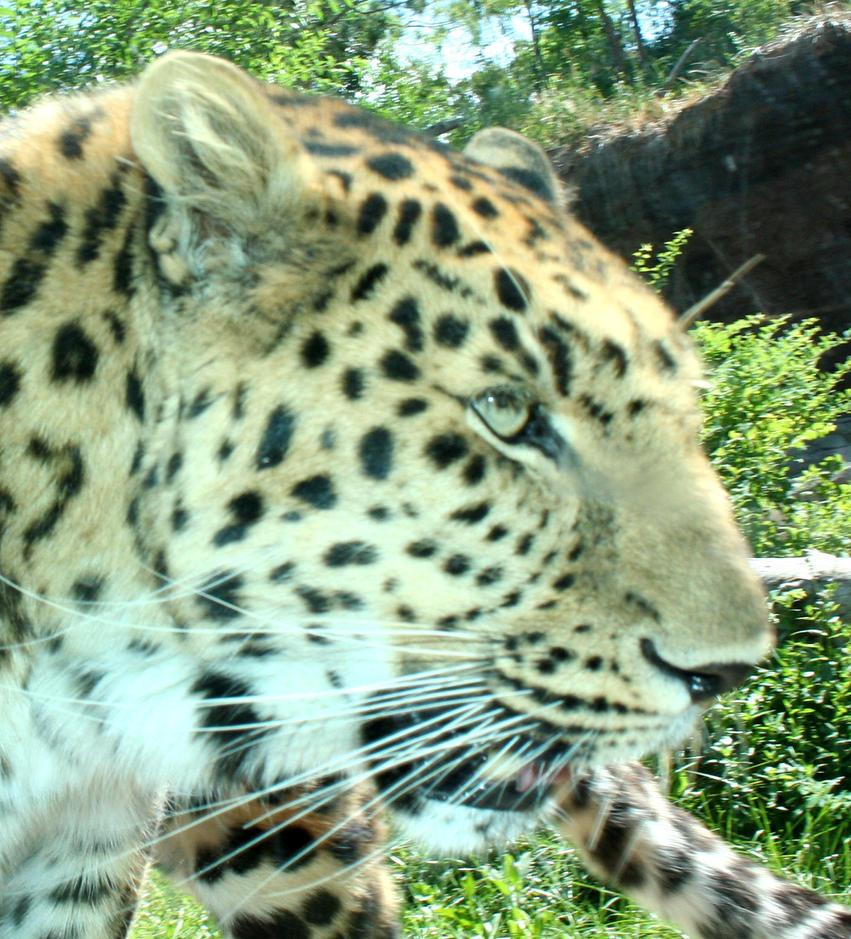 Hogle Zoo 38 - Leopard by Falln-Stock