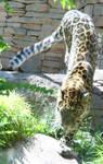 Hogle Zoo 39 - Leopard
