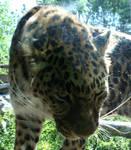 Hogle Zoo 41 - Leopard