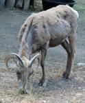 Hogle Zoo 95 - Big Horn Sheep
