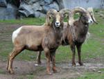 Pocatello Zoo 41 Sheep