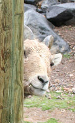 Pocatello Zoo 46 Peeking Goat by Falln-Stock