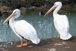 Tautphaus Zoo 12 Pelican