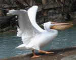 Tautphaus Zoo 16 Pelican