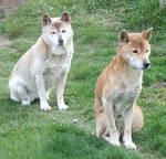 Tautphaus Zoo 29 Dingo