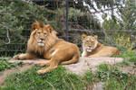 Tautphaus Zoo 79 Lions
