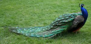Tautphaus Zoo 82 Peacock