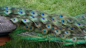 Tautphaus Zoo 90 Peacock