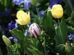 Tulip Festival 32