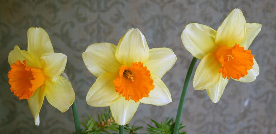Tulip Festival 39 by Falln-Stock