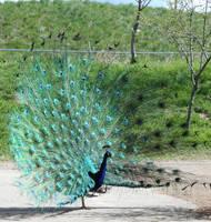 Zoo Montana Peacock 17 by Falln-Stock