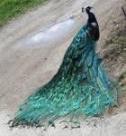 Zoo Montana Peacock 19