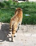 Zoo Montana Tiger 52