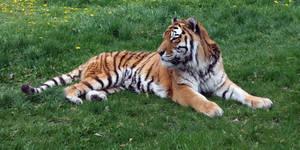 Zoo Montana Tiger 64