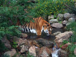 Cheyenne Mtn Zoo 38 Tiger