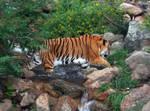Cheyenne Mtn Zoo 39 Tiger