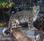 Denver Zoo 20 Snow Leopard