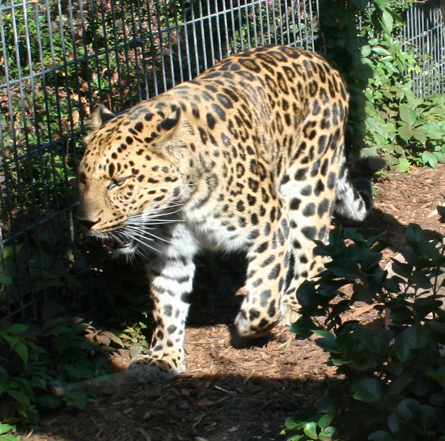 Denver Zoo 26 Leopard By Falln-Stock On DeviantArt