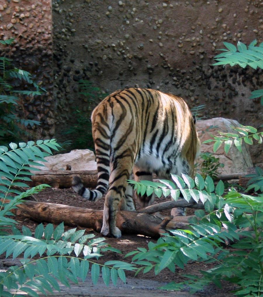 Denver Zoo 29 Tiger By Falln-Stock On DeviantART