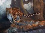 Denver Zoo 33 Leopard